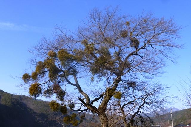 たくさんの宿り木