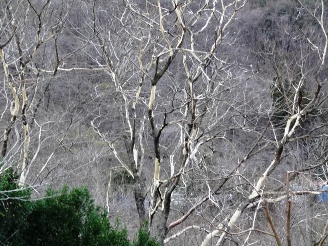 しましまの木